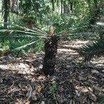 Blechnum gibbum 樹皮