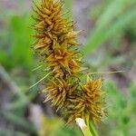 Carex cuprina