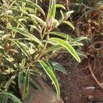 Solanum lanzae Leaf