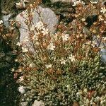 Saxifraga conifera
