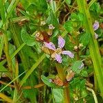 Lythrum rotundifolium