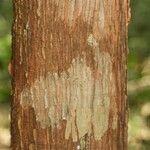Thyrsodium puberulum