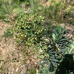 Euphorbia characias Õis
