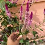 Celosia argentea Fleur