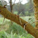 Acacia xanthophloea Кора