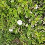 Calystegia sepium 葉