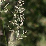 Achnatherum calamagrostis