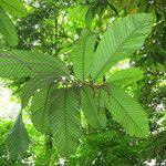 Dipterocarpus cornutus