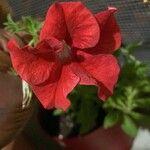 Petunia x hybrida Cvet