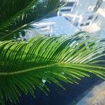 Cycas revoluta List