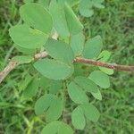 Bauhinia tomentosa Leaf