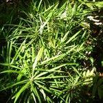 Podocarpus sylvestris