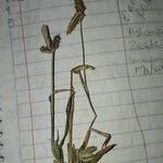 Cyperus hermaphroditus