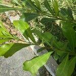 Crescentia cujete Leaf