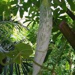 Trichosanthes cucumerina Plod