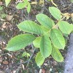 Rosa × paulii