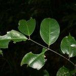 Eperua grandiflora