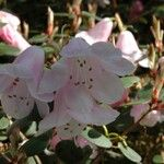 Rhododendron williamsianum