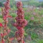 Chenopodium quinoa Pflanze