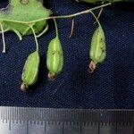 Pleurothallis longipedicellata