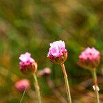 Armeria maritima Fleur