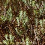 Micromeria pineolens