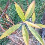 Salix eriocephala