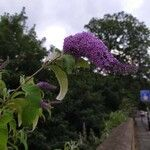 Buddleja davidii Blomst