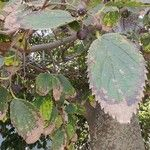 Celtis australis Leaf