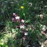 Orchis purpurea List