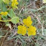 Bupleurum lancifolium