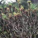 Euphorbia bravoana
