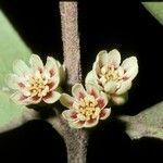 Atherospermataceae