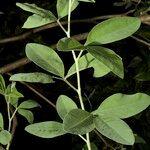 Anagyris latifolia