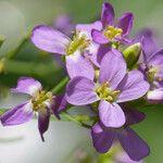 Arabidopsis cebennensis