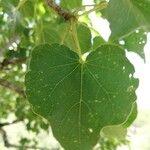 Sterculia rogersii Leaf