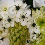 Melomphis arabica