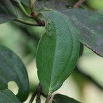 Blakea wilsoniorum