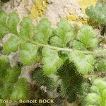 Asplenium hispanicum