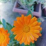 Calendula stellata Flower