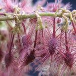 Heliocarpus americanus