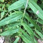 Lythrum salicaria Blad
