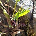 Crepis dioscoridis