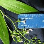 Epidendrum piliferum