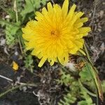 Sonchus fauces-orci
