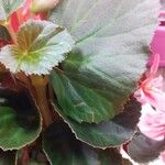Begonia cucullata Lehti