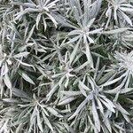 Helichrysum orientale
