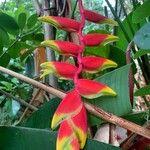 Heliconia rostrata Flor