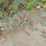 Vachellia gerrardii
