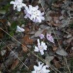 Iberis contracta Flower